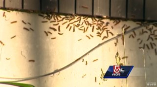 WCVB Screen Shot Gypsy Moth Caterpillars On House
