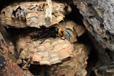 Queen Asian giant hornet on hornet nest